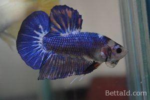 Ikan Cupang Giant Marbel Gt31 Warna Dominan Biru Marbel Kondisi Ikan Sehat Sisik Mengkilap Sirip Ikan Balance Bermental Berani Dan Ikan Cupang Betta Ikan