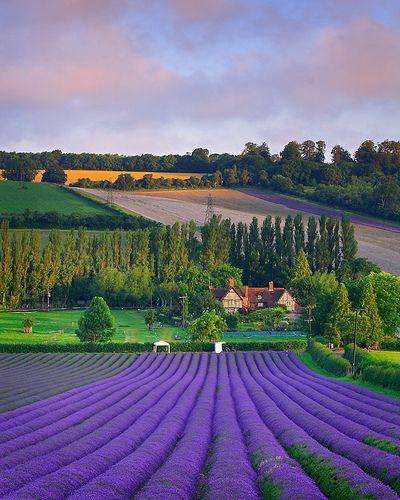 Lavender Field, Eynsford, England  photo via gypsy