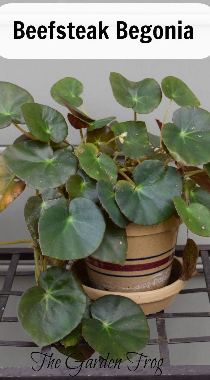 How to care for begonia - all the secrets of indoor plants