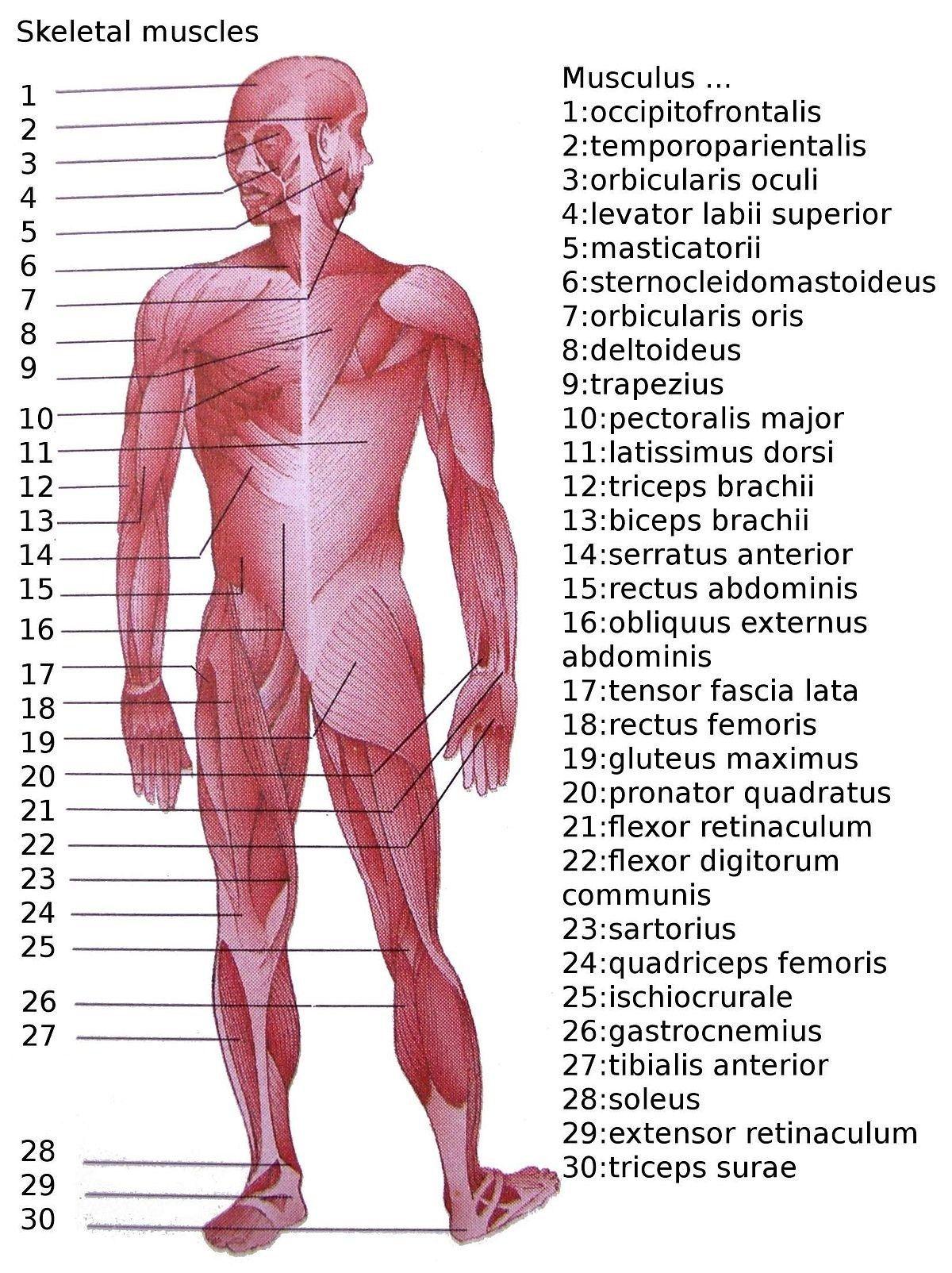 Human Anatomy Torso Diagram List Of Skeletal Muscles Of The Human Body Wikipedia Koibana Info Human Muscle Anatomy Muscle Anatomy Human Muscular System