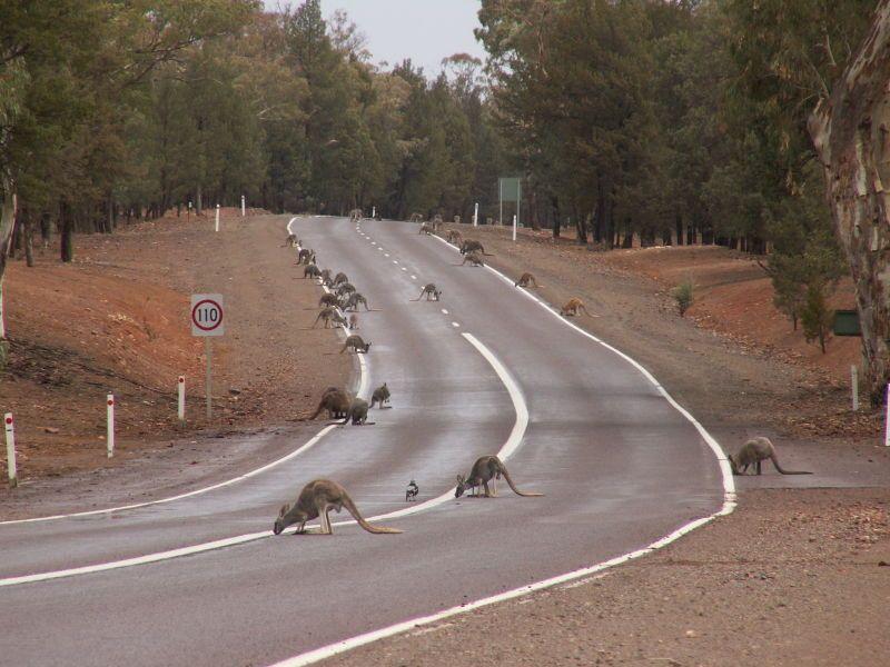 kangurus na estrada