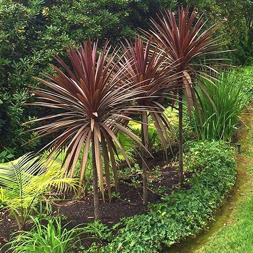 Red Grass Palm Cordyline Australis Dark Star Red Grass Plant Structure Grasses Landscaping