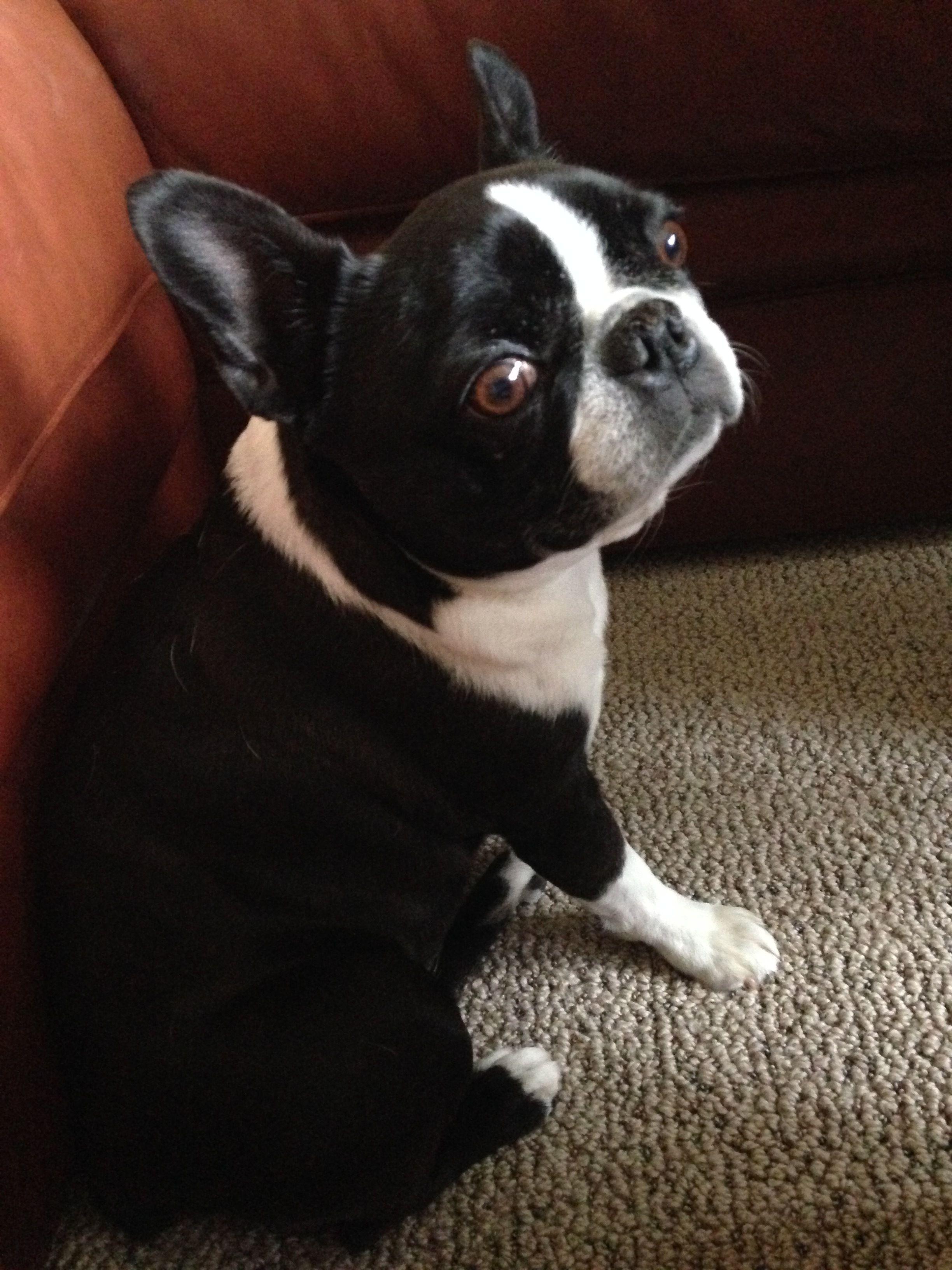 I Smell Something Good Boston Terrier Dog Boston Terrier Pug Boston Terrier Love