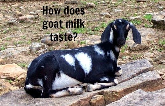 How does goat milk taste?