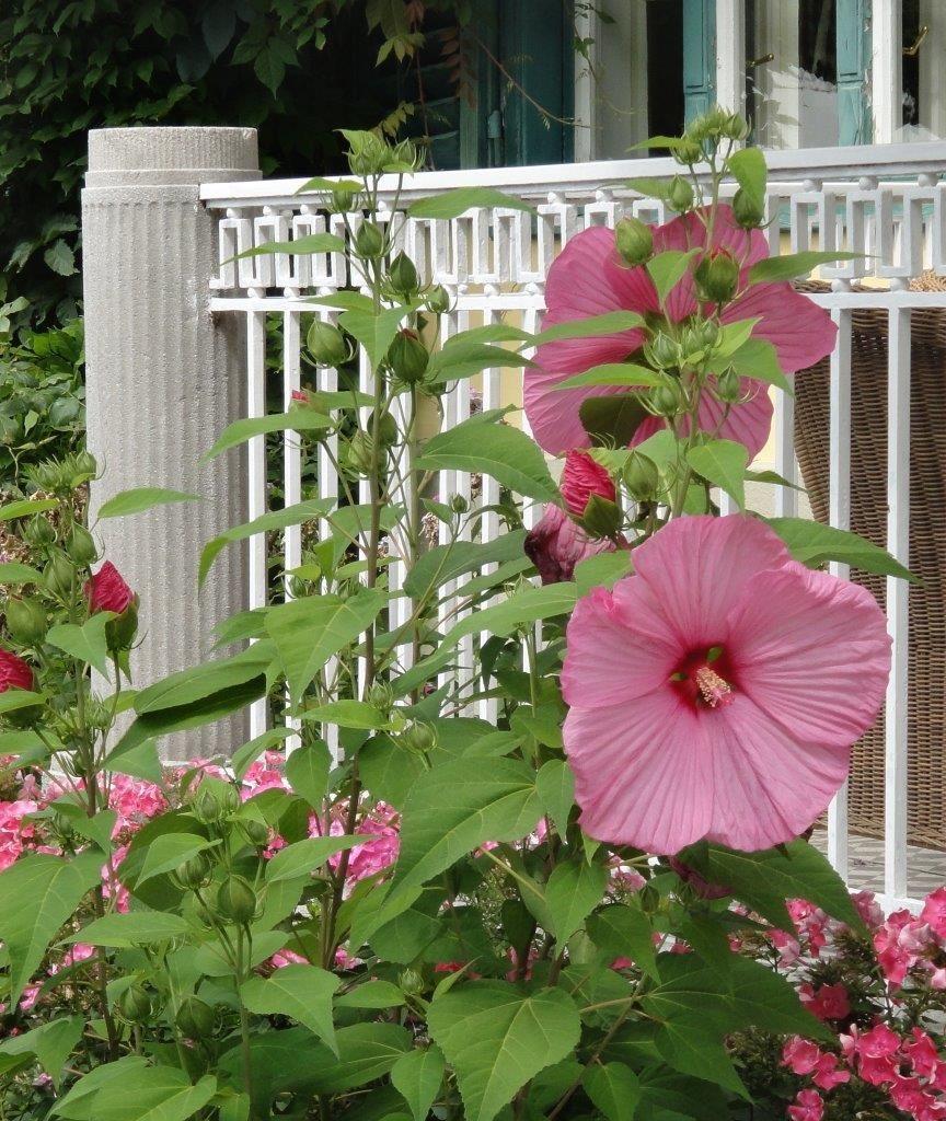 rosa blumen vor einem historischen eisenzaun der eine sonnenterrasse umfasst garten zaun. Black Bedroom Furniture Sets. Home Design Ideas