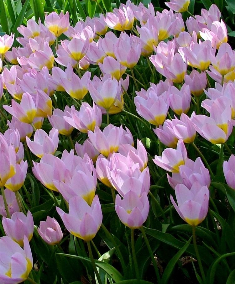 Tulipa Bakeri Lilac Wonder Species Tulips Flower Bulbs