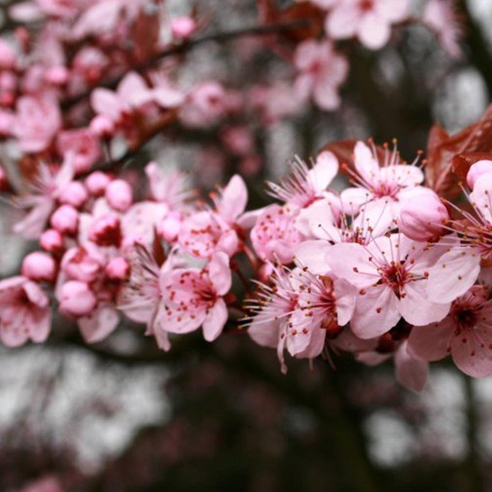Prunus cerasifera pissardii tree plants flowers and trees ornamental cherry tree for sale mightylinksfo
