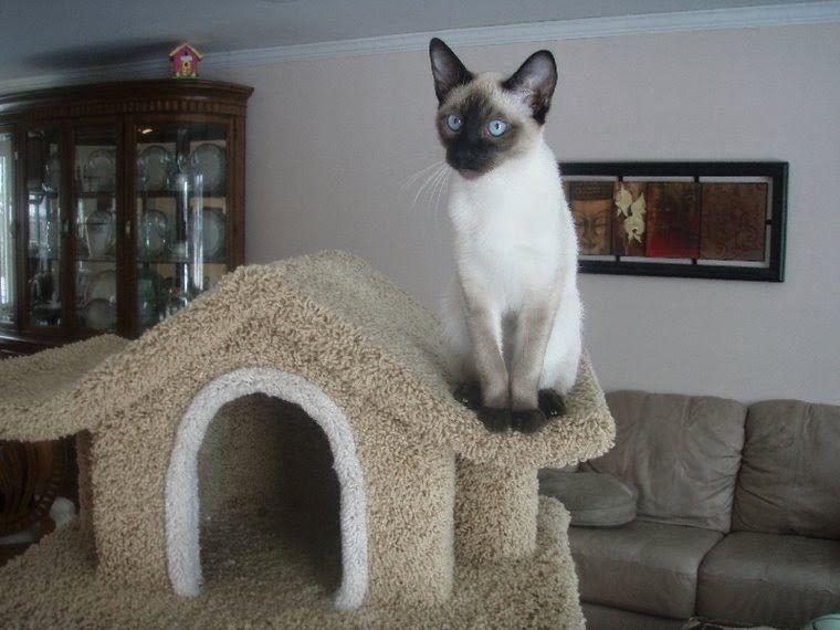 Henry Adoptable Cat Young Male Ocicat Mix Cat Adoption Ocicat Pet Adoption