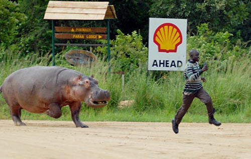 man being chased by hippo | Hungry hippos, Hippopotamus, Animals