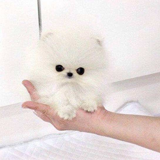 Paris Hilton S New Dog Is Tiny And Expensive Tiny Dogs White Pomeranian Puppies Pomeranian Puppy