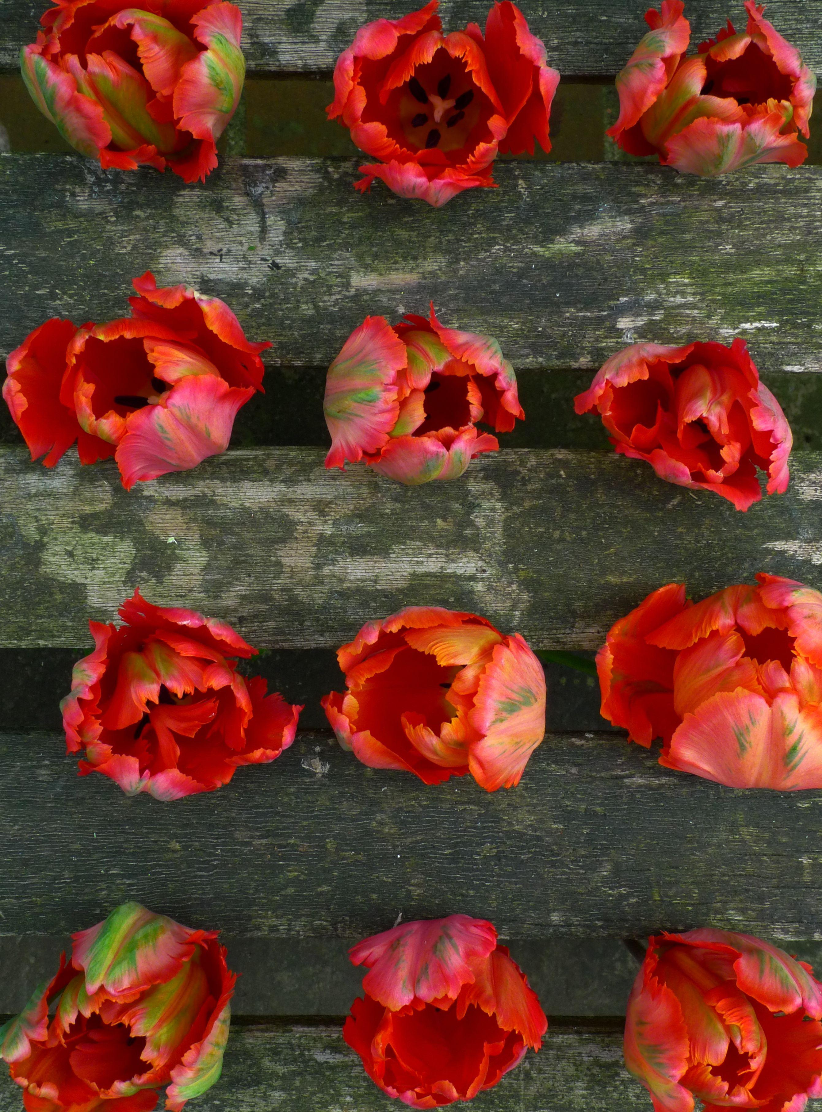 parrot tulips + weathered wood = abundant loveliness