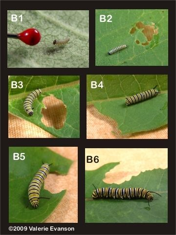 Monarch caterpillar instar stages. | My Very Hungry ...