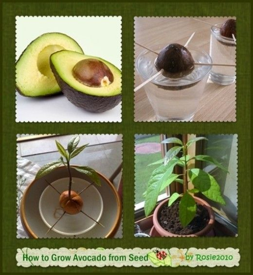 how to grow avocado from seed or pit gardening tips pinterest pflanzen balkongarten und. Black Bedroom Furniture Sets. Home Design Ideas