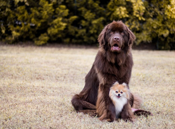 Treat Yourself And Make A Friend With A Dog Dogs Cute Dogs Newfoundland Dog Puppy