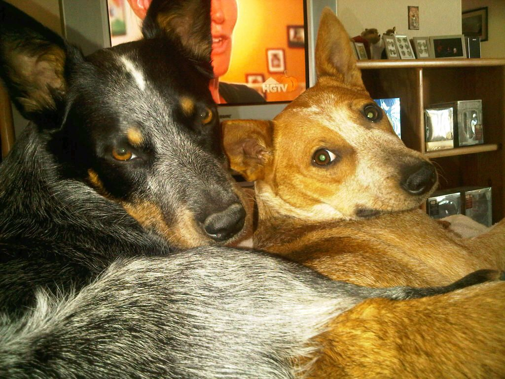 Tuck and Teener New Hope Cattle Dog Rescue of Colorado