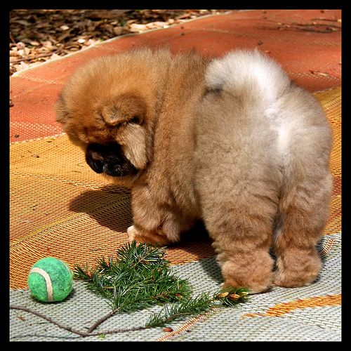 12 Reasons Why Chow Chows Are Underrated Cute Fluffy Dogs Chow