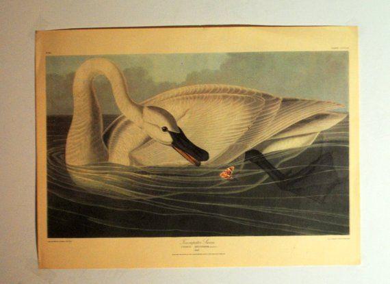 "Audubon vintage 40s , print""Trumpeter Swan"" by Havell ..."