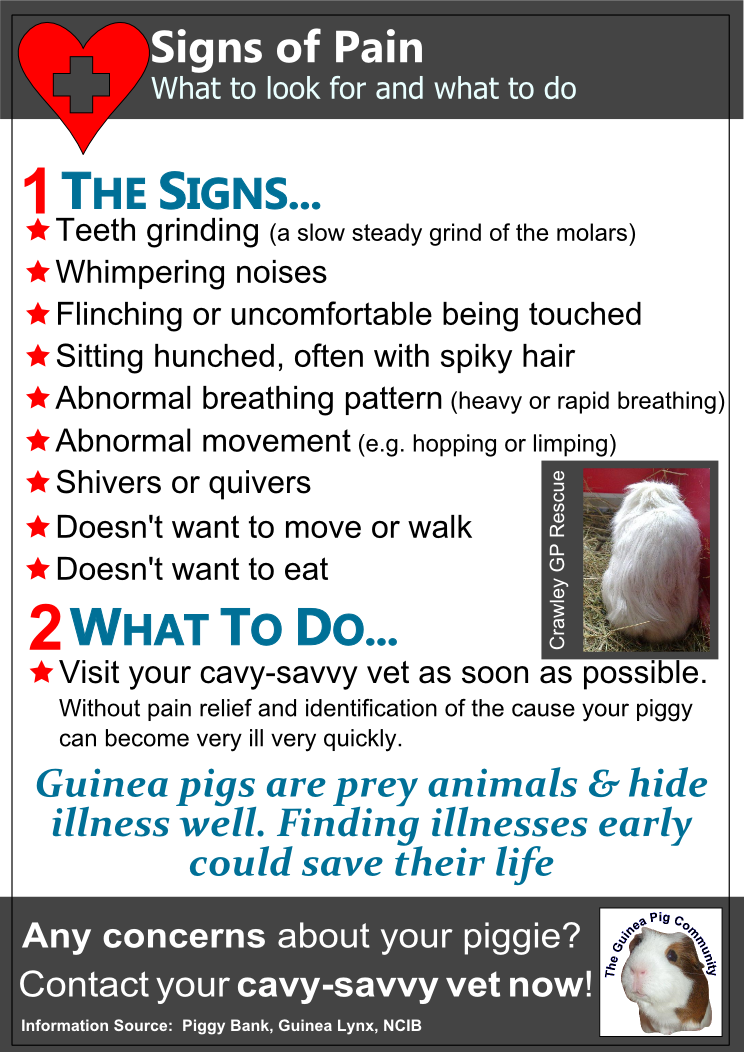 Guinea pigs are a prey animal and therefore hide their pain really ...