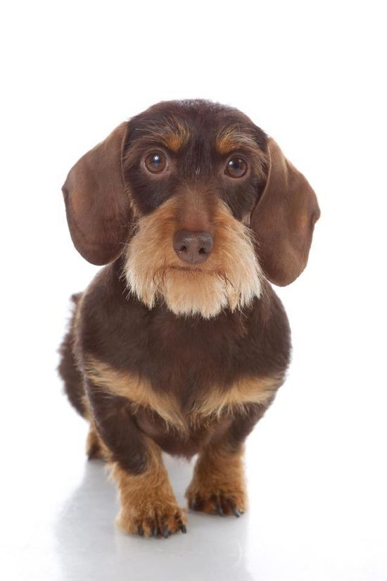 Pin By Linda Abele On Dachshunds And Other Cute Animal Things
