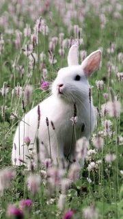 White Rabbit In Flower Field