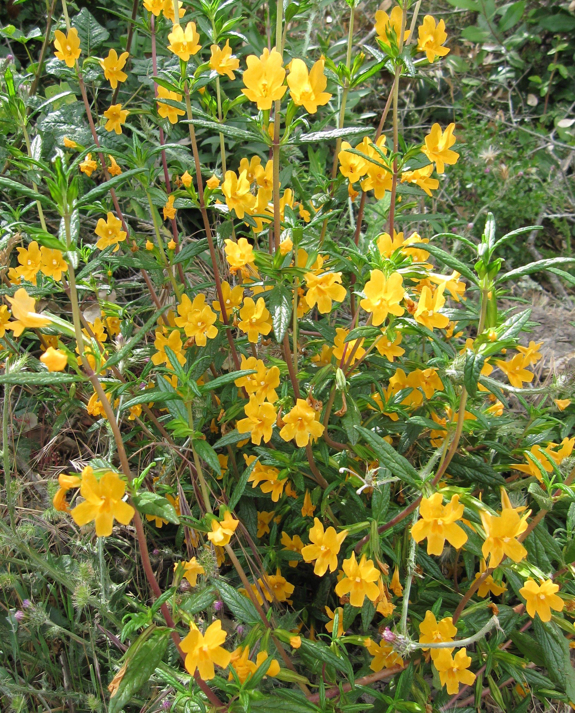 Mimulus Aurantiacus Yellow Monkey Flower California Native Garden