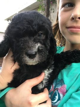 Newfoundland Poodle Standard Mix Puppy For Sale In Parrish Fl