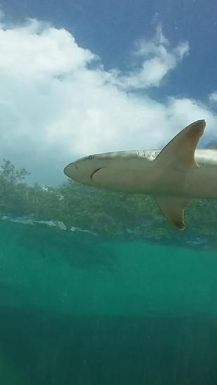 YOU MAY HAVE SEEN A HOUSE FLY .  YOU MAY HAVE HAD SHOO FLY PIE.   BUT, HAVE YOU SEEN A SHARK FLY?