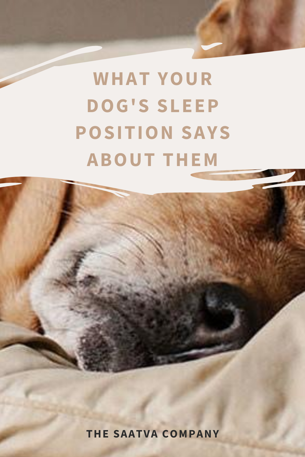 Dog Sleeping Positions And What They Mean Saatva Dog Sleeping Positions Sleeping Dogs Dog Sleeping Positions Meaning