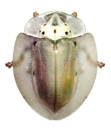 Physonota perampla