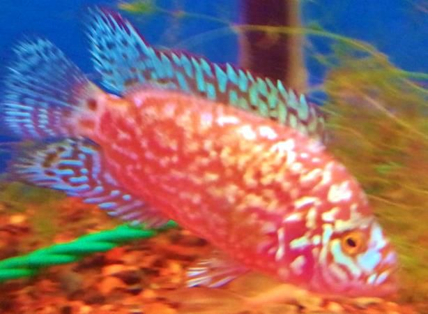 Electric Pink Jack Dempsey We Just Got These In Pretty Cool Fish Cichlids Fish Pet