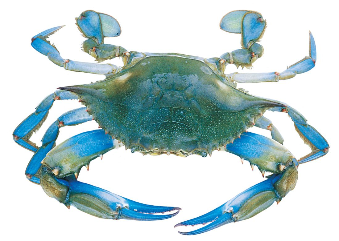 Blue crab how to eat a whole crab not just the legs also for What sound does a fish make