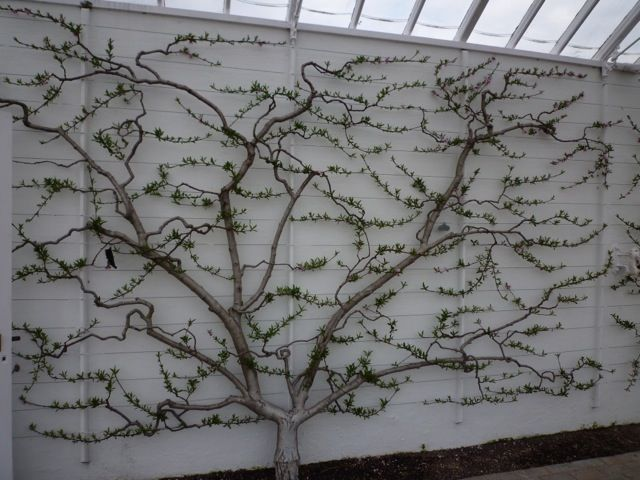 Why Space Saving Espalier Fruit Trees Are A Perfect Choice For Small Gardens Espalier Fruit Trees Small Gardens Fruit Tree Garden