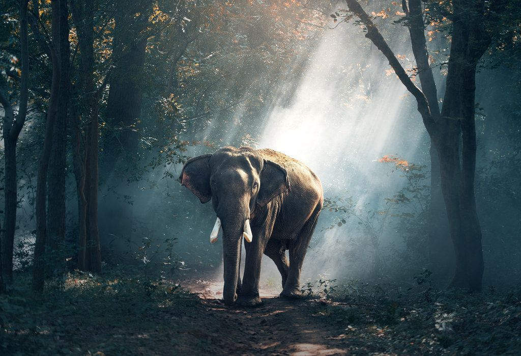 An Elephant In A Forest Wallpaper Elephant Wildlife Photography Animal Photography