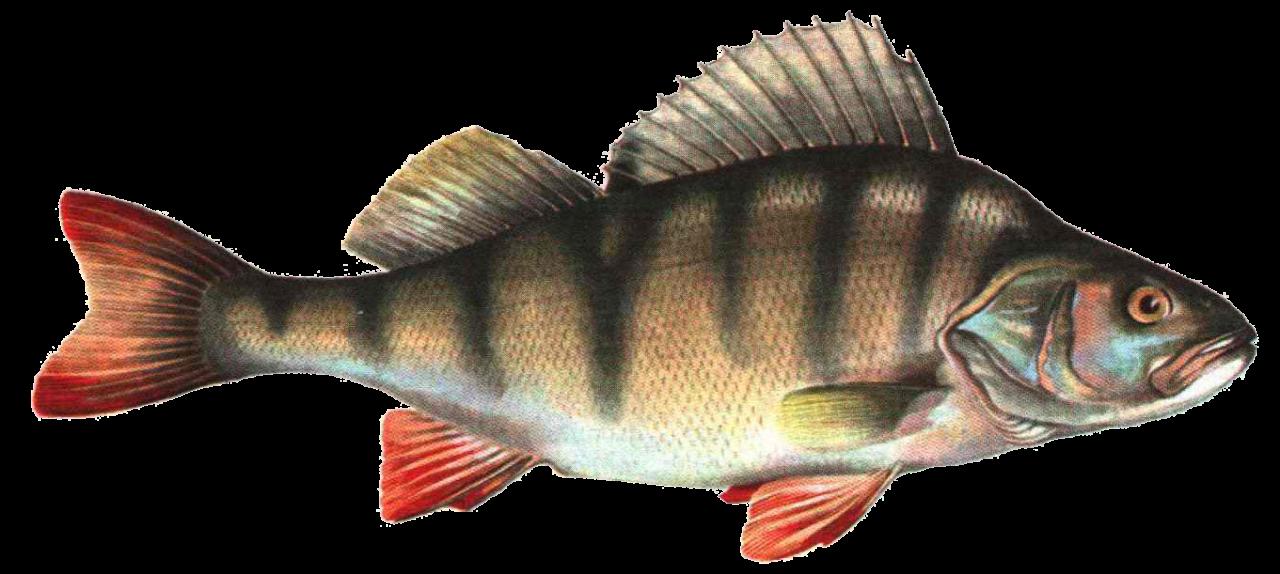 Рыба картинка на прозрачном фоне, красивые мужчине черная