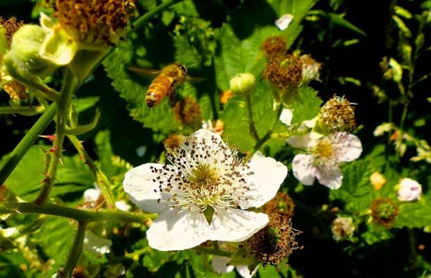 Line small gardens with nectar-rich plants to help bees and other beneficial insects