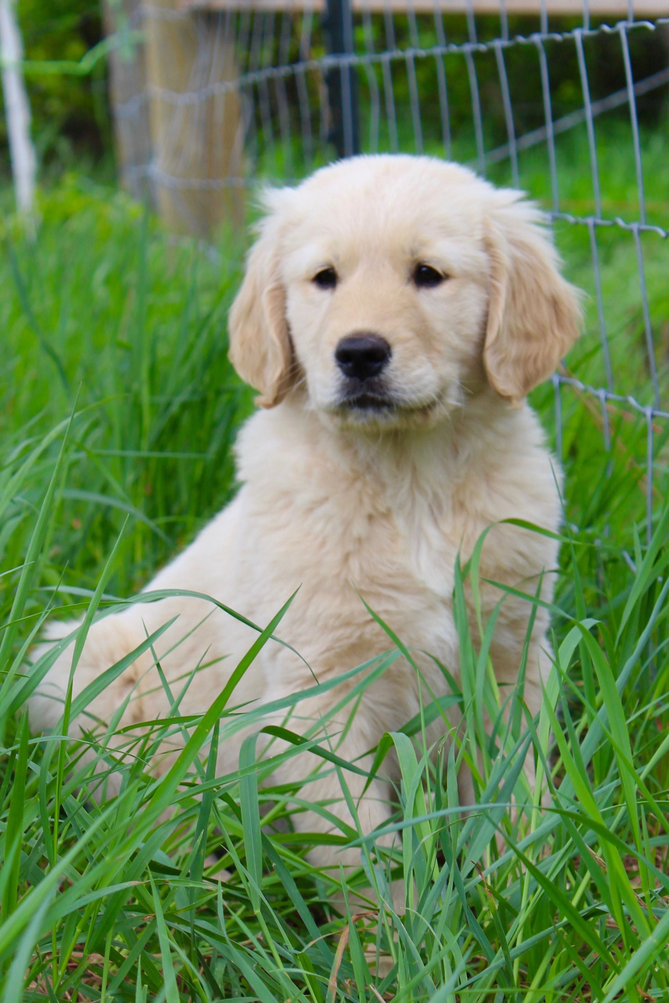 Golden Retriever Cutedogs Retriever