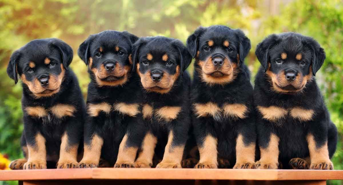 Rottweiler Puppies For Sale In Oh In 2020 Rottweiler Puppies