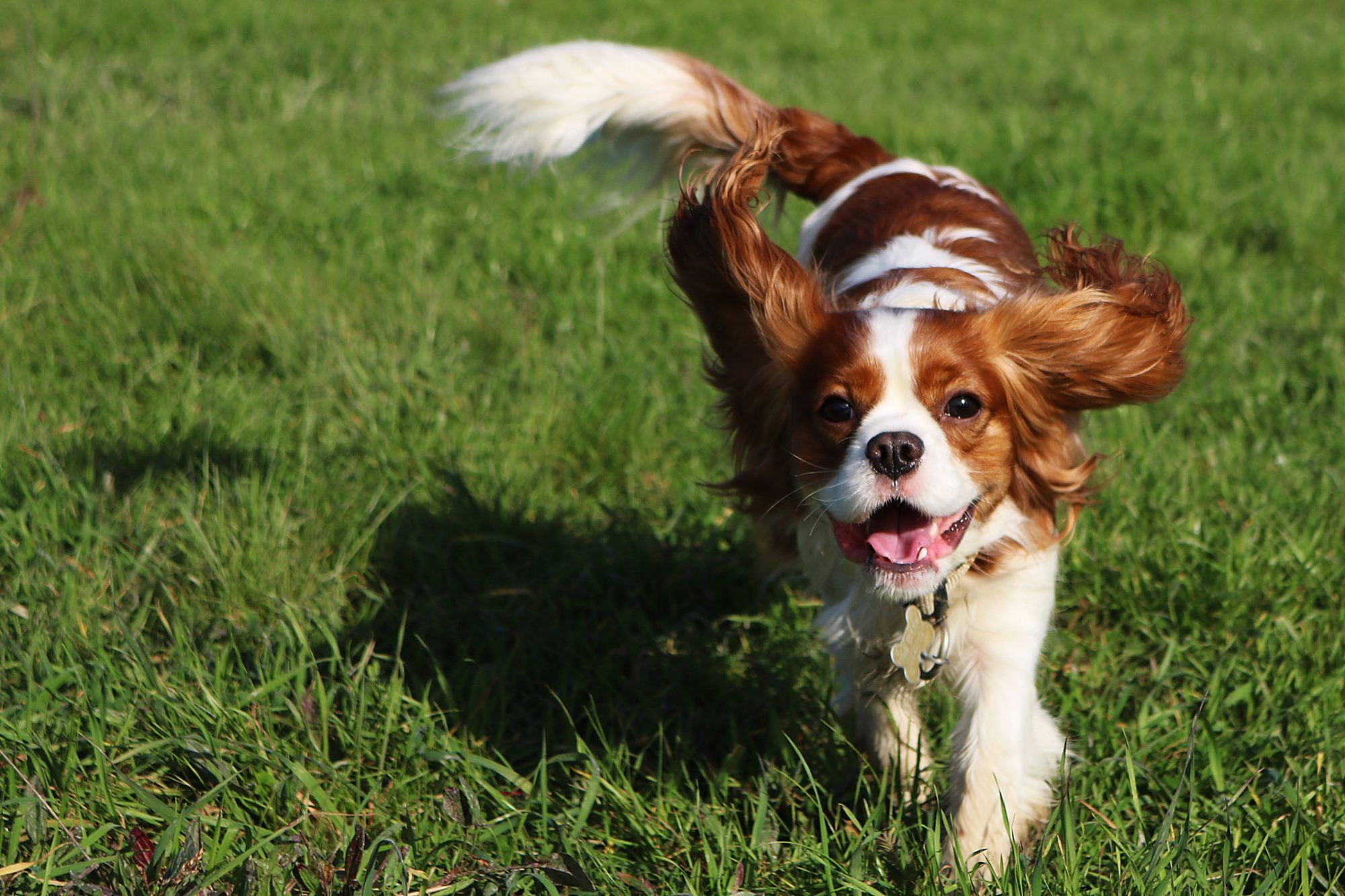 11 Of The Most Affectionate Dog Breeds Dog Breeds King Charles