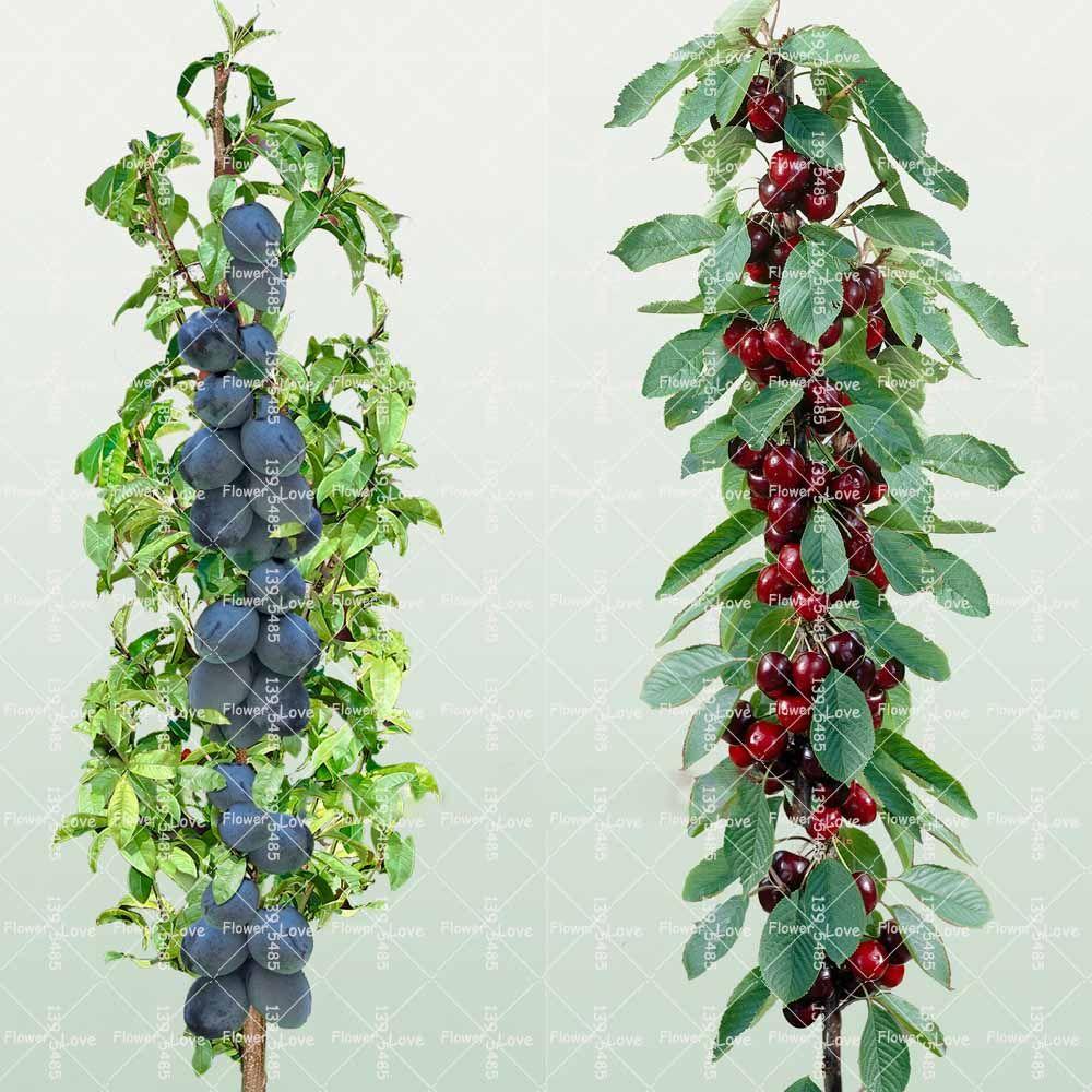 20pcs Gaint Cherry Seeds Rare Organic Heirloom Fruit Seeds Plant For Home Garden Send 100pcs Bonsai Bluebe Miniature Fruit Trees Fruit Trees Dwarf Fruit Trees