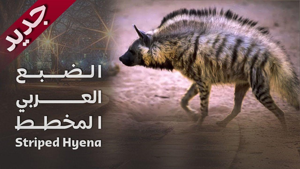 1988 مشاهد نادرة لحيوان الضبع العربي الضبع المخطط العراق Youtube Striped Hyena Hyena Movie Posters