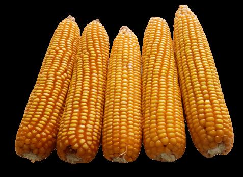 Yellow Dent Corn Makka Png Picture Corn Png Yellow Corn