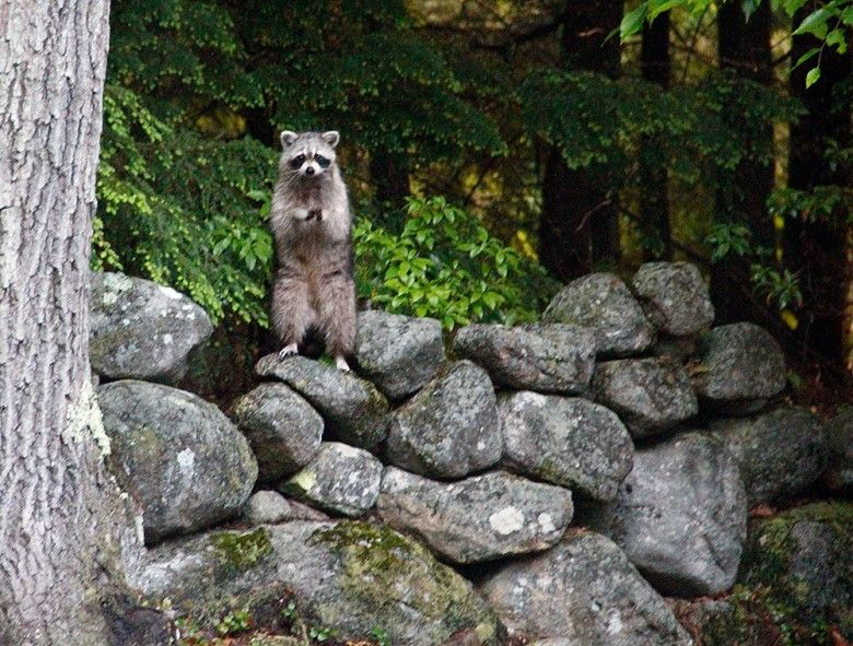 Raccoon Deterrent 4 Ways to Keep Raccoons out of Garbage