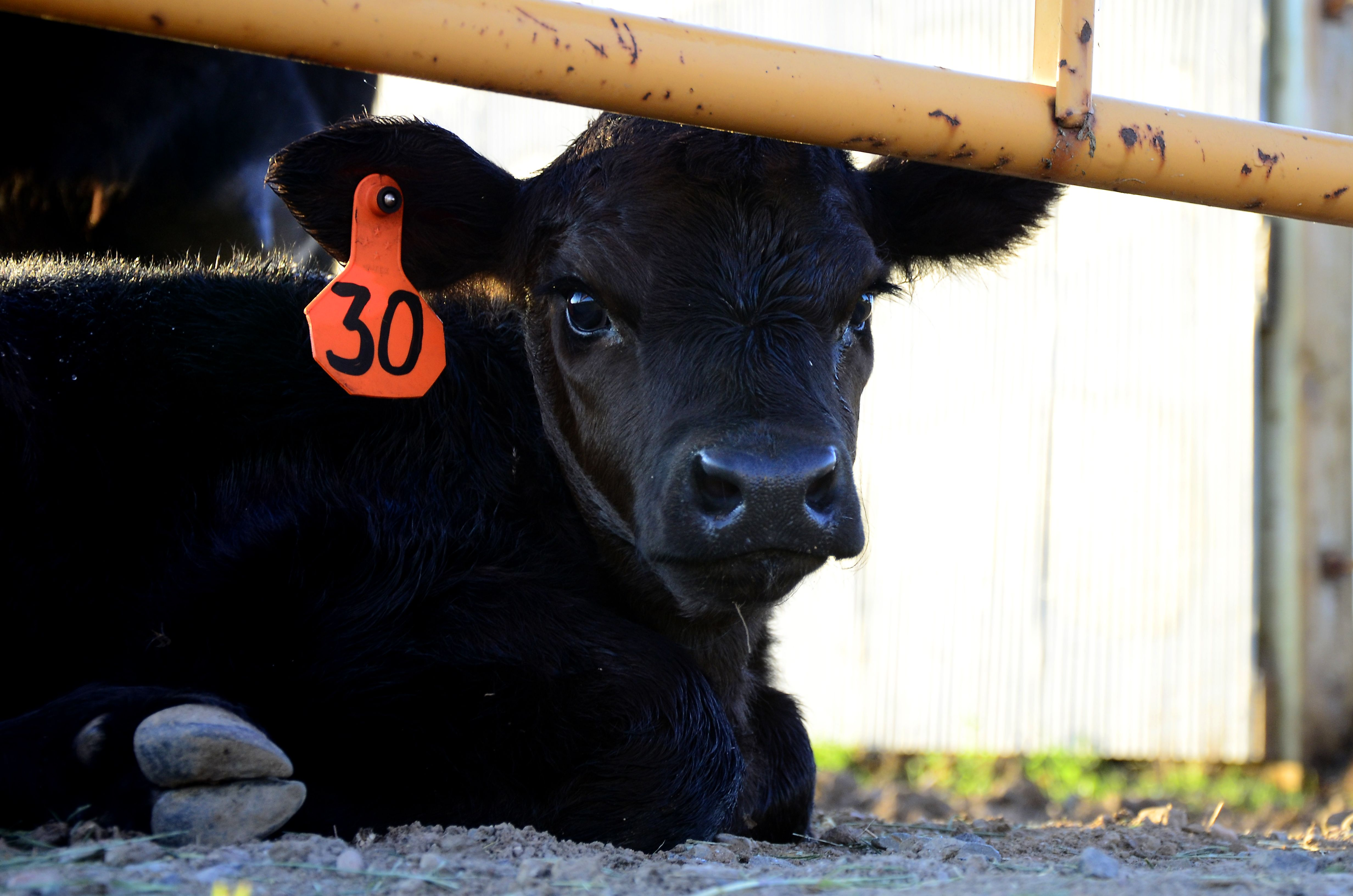 young-black-angus-calf
