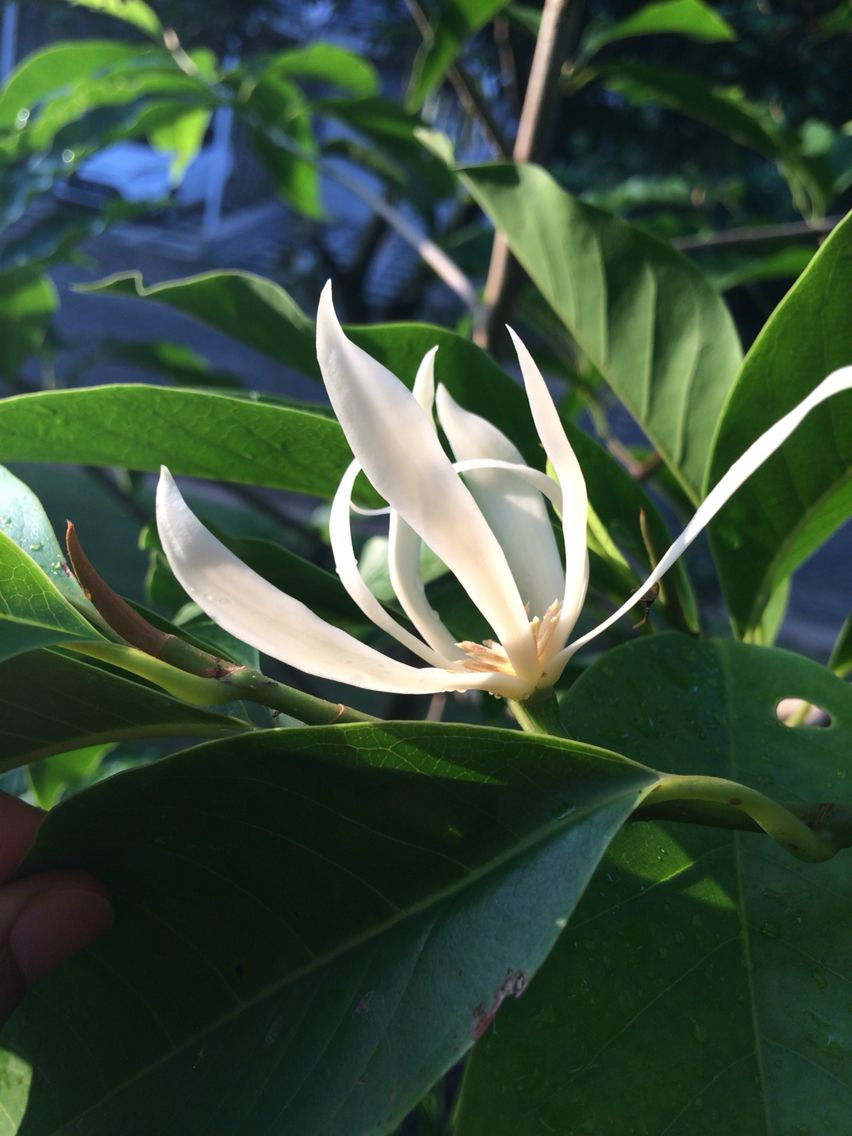 Bunga Cempaka Putih Michelia Alba Indie Perfume Rare Plants