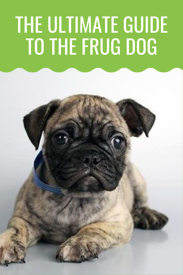Get To Know The Frug Dog The Adorable Frenchie And Pug Mix Barking Royalty Frenchie Pug Pugs Dogs