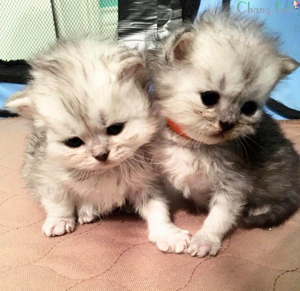 Blue Persian Maybe Persian Kittens Persian Kittens For Sale Persian Cat