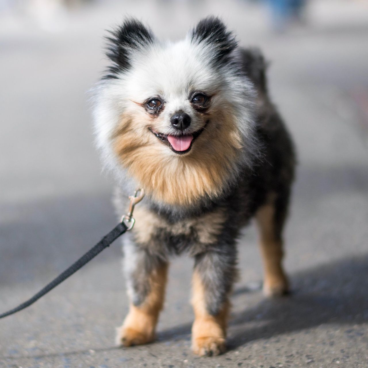 Coyote Pomeranian 9 Y X2f O 7th 1st Ave New York Ny