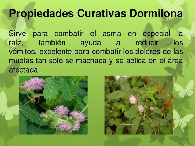 Plantas medicinales propiedades buscar con google for Planta decorativa con propiedades medicinales