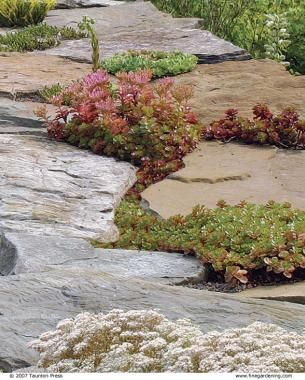 Creeping Sedums --- Cracks and crevices Soften the hard edges of rock walls or stepping stones. Sedums, such as S. spurium 'Fuldaglut', grow with almost no soil within crevices of a stone wall or between stepping stones (third photo, below). Use established small seedlings, also known as plugs, and mix in a bit of fine gravel and soil.