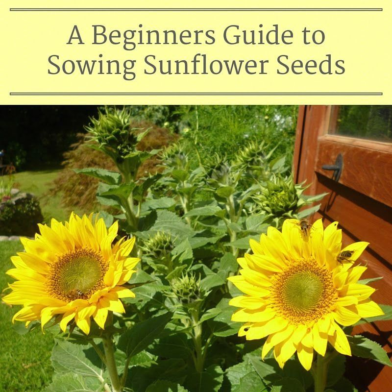 How To Sow Sunflower Seeds 1000 In 2020 Growing Sunflowers Planting Sunflower Seeds Planting Sunflowers